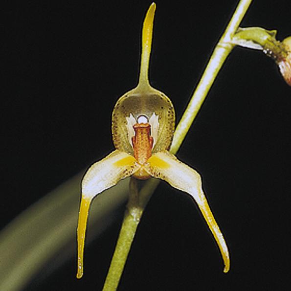 orchideen f r k hlere kultur masdevallia. Black Bedroom Furniture Sets. Home Design Ideas
